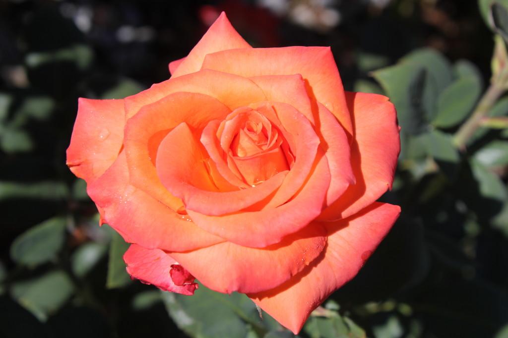 orange rose after rain